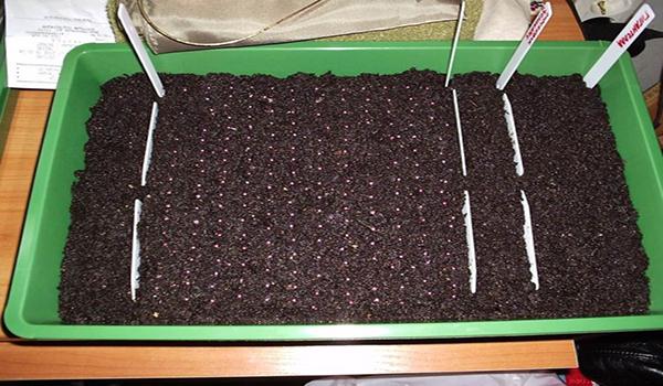Выращивание клубник из семян 835