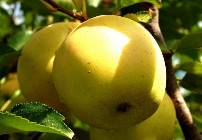 серебряное копытце сорт яблок фото
