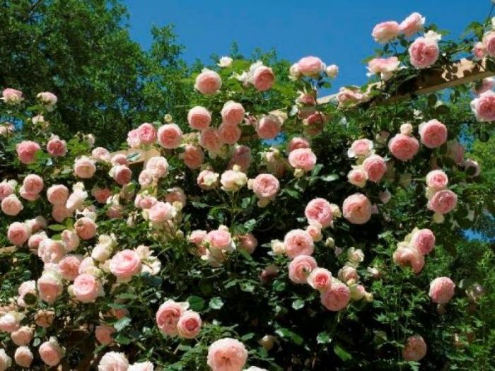 пьер де ронсар роза фото