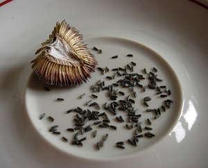 рудбекия семена фото