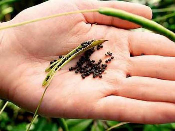 Клеома - выращивание цветной рассады из семян