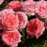 Роза кимоно флорибунда и особенности ухода за ней