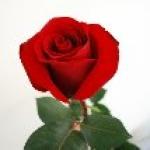 Чайно-гибридная роза Мадонна