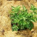 Как правильно выполнять мульчирование почвы