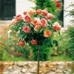 Как получают штамбовые розы