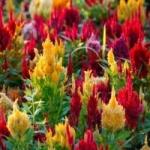 Целозия - выращивание из семян и особенности ухода