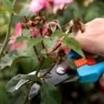 Правильная обрезка роз весной для начинающих