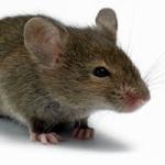 Яблоню погрызли мыши - что делать