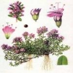 Тимьян - посадка и уход, выращивание его из семян