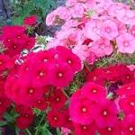 Флокс Друммонда - выращивание из семян в домашних условиях