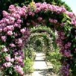 Популярные зимостойкие сорта плетистых роз