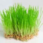 Пророщенная пшеница - польза и вред для организма. Советы врачей