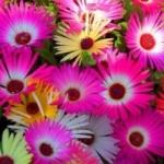 Удивительный мезембриантемум - выращивание из семян и правила ухода