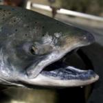 Рыба чавыча. Особенности и полезные свойства