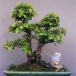 Чайное дерево бонсай. Особенности ухода