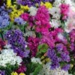Очаровательная статица - выращивание из семян и заготовка для икебаны