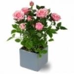 Комнатная роза. Уход и особенности выращивания