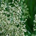 Трава зубровка и ее полезные свойства