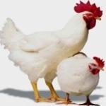 Выращивание цыплят и кур бройлеров в домашних условиях