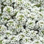 Лобулярия. Выращивание из семян в саду