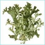 Исландский мох. Лечебные свойства и особенности роста
