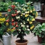 Комнатный клен абутилон - выращивание из семян и основы ухода