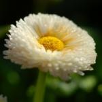 Маргаритка - выращивание из семян и особенности цветка