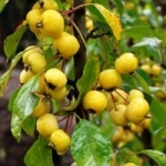 Яблоня Золотая Китайка