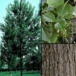 Тополь чёрный, фото дерева