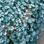 Дихондра ампельная. Выращивание из семян и особенности роста