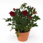 Роза кордана. Уход после покупки и особенности роста