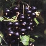 Чёрная смородина - полезные свойства, фото деревьев