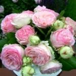 Элегантная роза Пьер де Ронсар