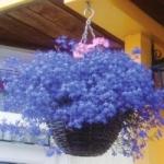 Лобелия - выращивание лобелии ампельной, каскадной из семян