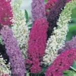 Буддлея Давида - выращивание из семян и особенности роста