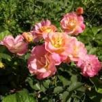 Что такое полиантовые розы