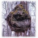 Берёзовый гриб чага - полезные и лечебные свойства