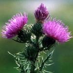 Чертополох - фото и описание растения