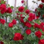 Фламентанц роза и особенности ее выращивания