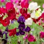 Душистый горошек - выращивание из семян в саду