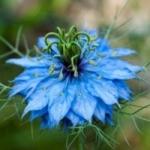 Нигелла - выращивание из семян