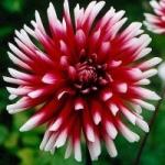 Георгины - выращивание однолетних георгинов из клубней