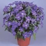 Бровалия - выращивание из семян для цветника
