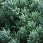 Многоликий седум - выращивание из семян и уход в процессе роста