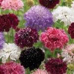 Cкабиоза - выращивание из семян в саду