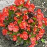 Бегония вечноцветущая. Выращивание из семян и особенности ухода