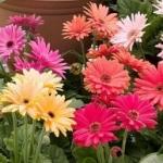 Гербера Джемсона - выращивание из семян для сада