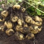 Основы выращивания картофеля