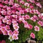 Камнеломка Арендса - выращивание из семян для альпинариев