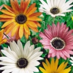 Арктотис - выращивание из семян и особенности цветка